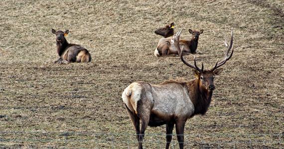 Northern Wisconsin Elk Calves