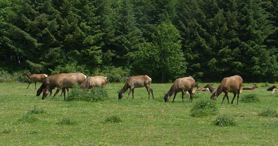 Northern Wisconsin Elk Herd