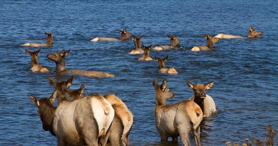 Swimming Elks