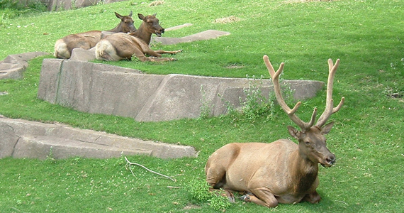 Northern Wisconsin Elk in Milwaukee County Zoo