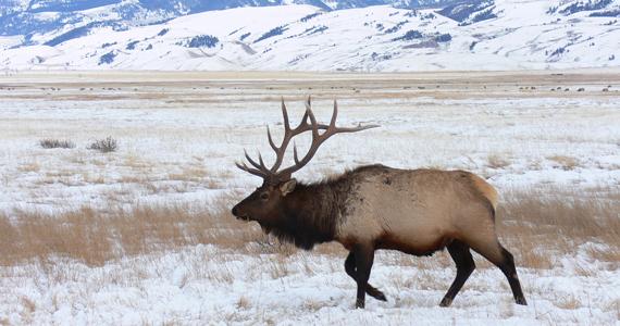Northern Wisconsin Elk