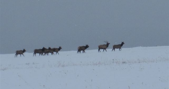 Wisconsin Elk Herd