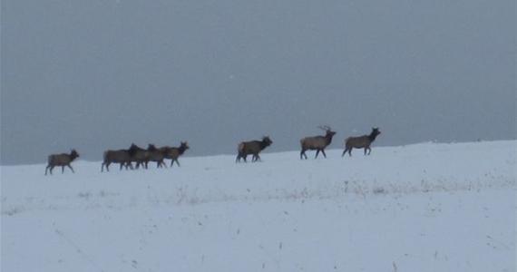 Wisconsin Elk Herd