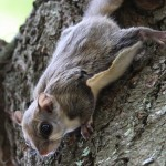 Northern Wisconsin Nocturnal Flying Squirrel