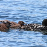 Northern Wisconsin Loons Swimming