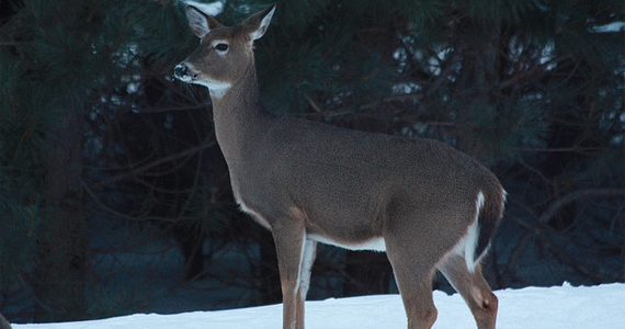 Wisconsin White-Tailed Deer