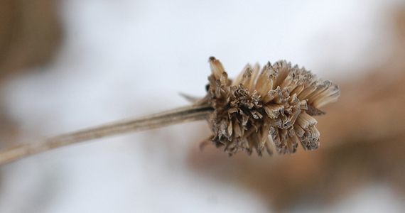 Allium Seed Head in Wisconsin