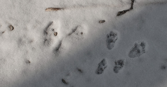 Northern Wisconsin Animal Tracks