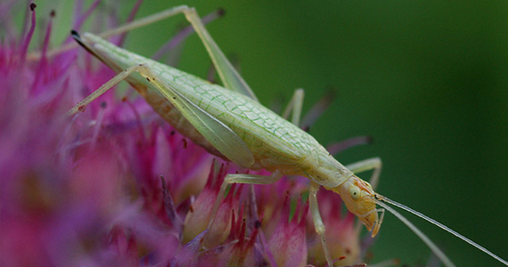 Narrow Winged Tree Cricket
