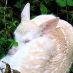 Baby Albino Deer Keeping Warm