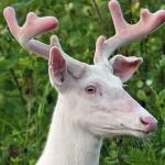 Albino Whitetail Buck Broken Ear