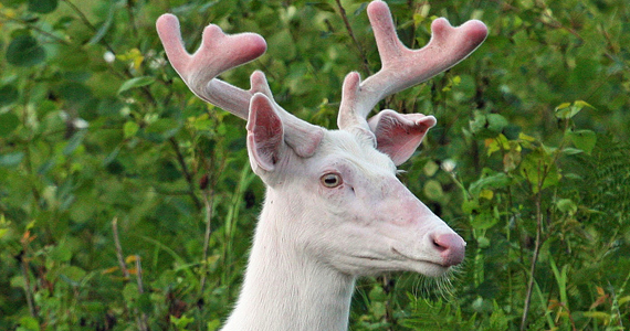 Albino Whitetail Buck Broken Ear