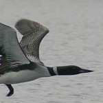 Northern Wisconsin Loon Flying Low Over Water