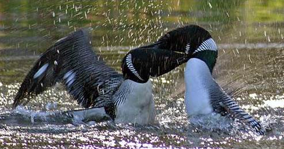Male Loons Fight Over Territory